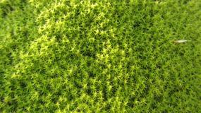 Текстура свежего зеленого мха стоковое изображение