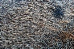 текстура свиньи волос Стоковое Изображение