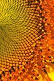 текстура солнцецвета Стоковая Фотография