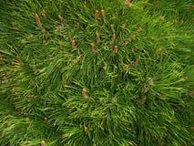 текстура сосенки иглы Стоковая Фотография RF