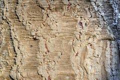Текстура старого чилийского хобота сосны стоковое изображение rf