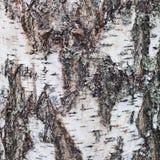 Текстура старой коры дерева березы покрытой с лишайником Стоковая Фотография RF