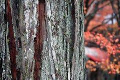Текстура ствола дерева с мхом лишайника и предпосылка вне фокусируют листья осени на дереве Стоковое Фото