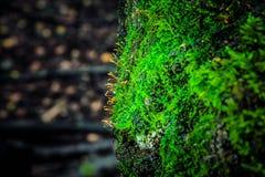 Текстура ствола дерева с мхом, северной области, плотного леса Стоковые Фотографии RF