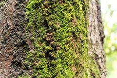 текстура ствола дерева с мхом, северной области Стоковое Изображение