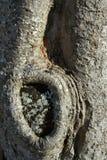 Текстура ствола дерева с узлом Стоковая Фотография