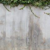 Текстура стены цемента и зеленый плющ лист Стоковое фото RF