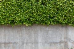 Текстура стены цемента и зеленый плющ лист Стоковое Изображение RF