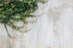 Текстура стены цемента и зеленый плющ лист Стоковые Фотографии RF