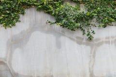 Текстура стены цемента и зеленый плющ лист Стоковые Фото