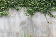 Текстура стены цемента и зеленый плющ лист Стоковая Фотография RF