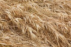 текстура сухой травы Стоковое фото RF