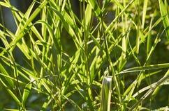Текстура травы просвещена лучами солнца на заходе солнца или восходе солнца Стоковая Фотография