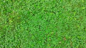 Текстура травы с клевером белых цветков Трава окруженная трилистником, конец-вверх взгляд сверху Стоковые Фото