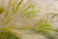 Текстура травы Трава пера Стоковая Фотография RF