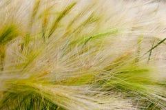 Текстура травы Трава пера Стоковые Изображения