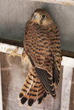 Текстура фото птицы сокола Стоковые Изображения RF