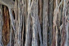 Текстура хобота баньяна стоковая фотография