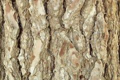 Текстура хобота сосны Стоковые Фотографии RF
