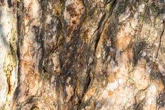 Текстура хобота старые 500-ти летние сосны Стоковое Изображение RF