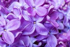 Текстура цветков сирени весны фиолетовая Абстрактная мягкая флористическая предпосылка Стоковое Изображение RF