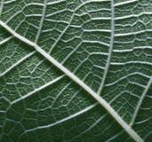текстура 2 листьев Стоковое Изображение RF