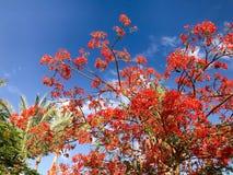 Текстура delonix швырка с красными нежными красивыми естественными листьями с лепестками цветка, ветвями тропического экзотическо стоковые фотографии rf
