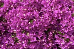 Текстура glabra Bouganvillea цветет, Chiavari, Италия Стоковая Фотография