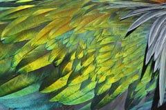 Текстура nicobarica Caloenas голубя ` s Nicobar пера Стоковые Изображения RF