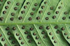Текстура sorus на лист папоротника Стоковые Фото