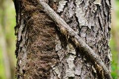Текстурированное дерево ратника Стоковые Фото
