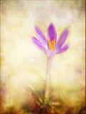 текстурированное романтичное крокуса предпосылки Стоковая Фотография RF