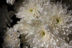 Текстурированные цветки, хризантемы Хризантемы на темном backg Стоковые Фотографии RF