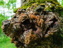 Текстурированный узел в расшиве дерева Конец-вверх Стоковая Фотография