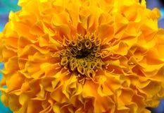 Текстурированный цветок ноготк Стоковая Фотография RF