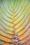 Текстурируйте и striped картина дерева путешественника (madagas Ravenala Стоковая Фотография
