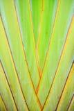 Текстурируйте и striped картина дерева путешественника (madagas Ravenala Стоковые Изображения
