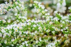 Текстурируйте предпосылку зеленых листьев и белых цветков Стоковая Фотография RF