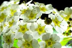Текстуры белых цветков Стоковая Фотография RF