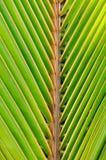 Текстуры зеленых листьев ладони Стоковые Изображения RF