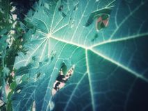Текстуры и картины больших листьев папапайи Стоковое фото RF