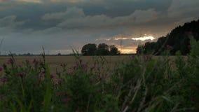 Тележка сняла отслеживать вдоль травы, полевых цветков и пшеничного поля, с золотым заходом солнца и драматическим небом в восточ сток-видео