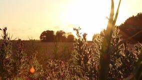 Тележка сняла отслеживать вдоль травы, полевых цветков и пшеничного поля, с золотым заходом солнца и драматическим небом в восточ акции видеоматериалы
