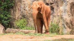Тело Африки покрынное слоном с красным шламом Стоковое Изображение RF