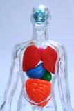 тело Стоковые Изображения RF