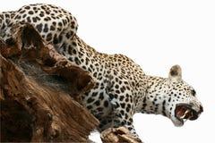 Тема животных объекта таксидермии леопарда Стоковые Изображения
