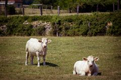 Тема земледелие и развод скотин Несколько, табун белой коровы на поле в сельской местности в деревне в Стоковое Фото