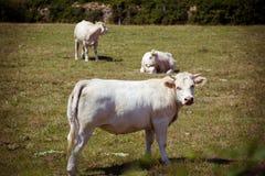 Тема земледелие и развод скотин Несколько, табун белой коровы на поле в сельской местности в деревне в Стоковое фото RF