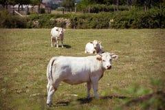 Тема земледелие и развод скотин Несколько, табун белой коровы на поле в сельской местности в деревне в Стоковое Изображение