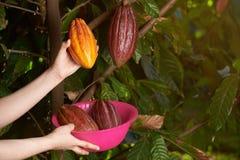 Тема фермы какао Стоковое фото RF